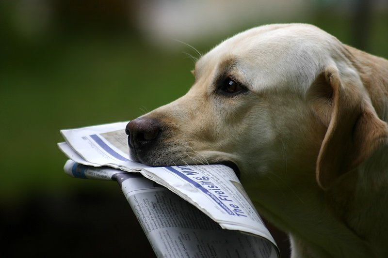 Dog carrying newspaper